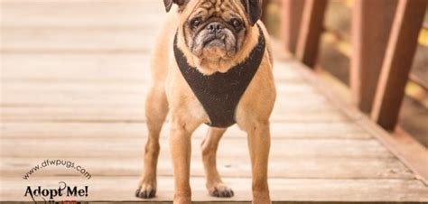 dfw pug rescue available pugs dfw pugs rescue club dfwprc rescues all purebred pugs regardless of age or