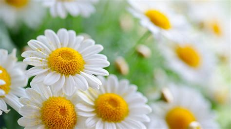 daisies film daisies movie wallpapers wallpapersin4k net