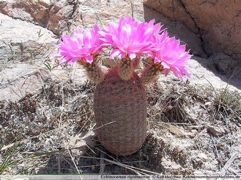Pink Flower 4in1 cacti collection holzheu echinocereus rigidissimus