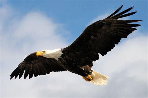 bald eagles studies thinglink
