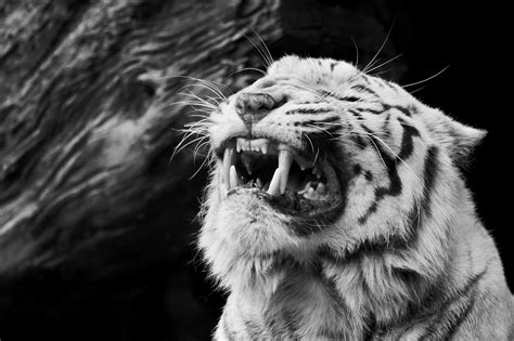 black and white tiger wallpaper black and white tiger wallpapers 67 wallpapers