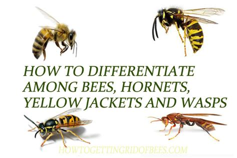 images of what do yellow jackets look like yellow jacket