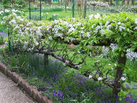 backyard fruit trees giverny espaliered apple trees