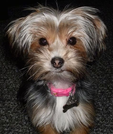 yorkie apso yorkie apso breed information and pictures