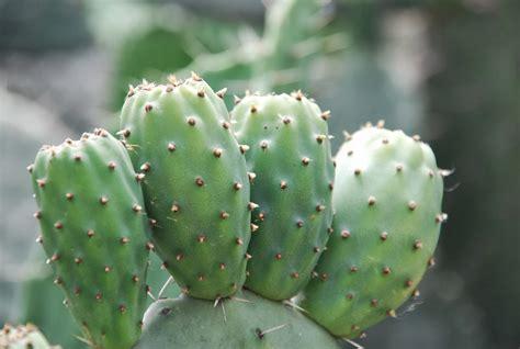 agam 233 ethiopia cactus fruit aka beles or prickly pear