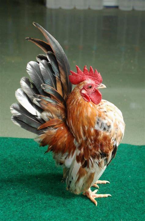 Alas Pasir Kandang Ayam lagi suka pemeliharaan ayam serama