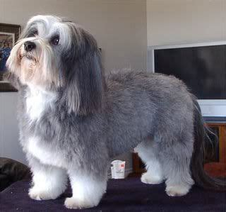 types of havanese 186 best images about havanese on coton de tulear bearded collie