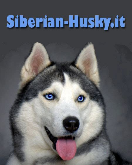 alimentazione siberian husky qual 232 l alimentazione di un husky adulto lettera43