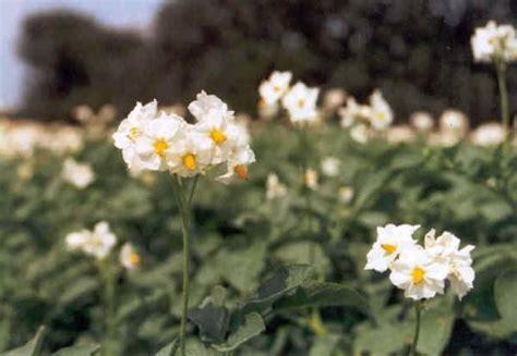 piantare patate in vaso piantare le patate ortaggi come coltivare le patate