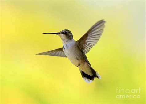 hummingbird in yellow by carol groenen