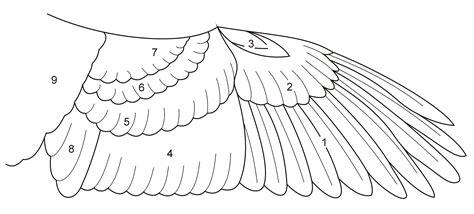 bird wing diagram wing diagram wingspans