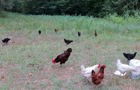 backyard chicken diseases 5 common chicken diseases and symptoms backyard poultry