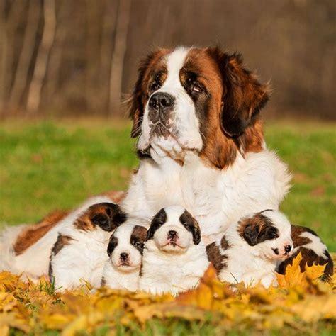 do dogs periods do dogs periods k k club 2017