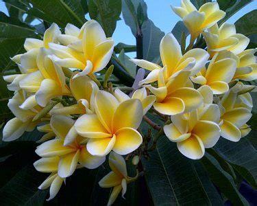 Minyak Atsiri Kamboja inilah berbagai khasiat dan manfaat bunga kamboja