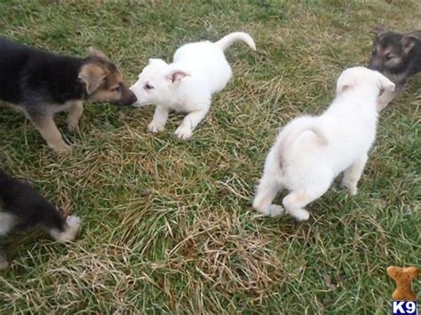 german shepherd puppies for sale in iowa document moved