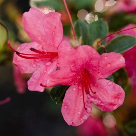 encore azalea 1 gal autumn cheer 80471 at the home depot