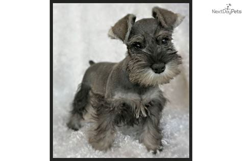 schnauzer puppies for sale near me schnauzer miniature puppy for sale near houston 7ad10743 1ab1