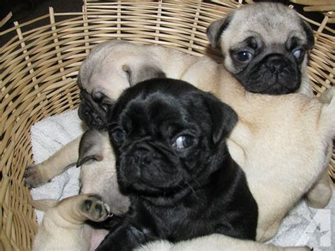 puppies for sale palm springs pug puppies available for sale in palm springs california classified