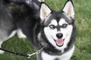 pictures alaskan klee dogs