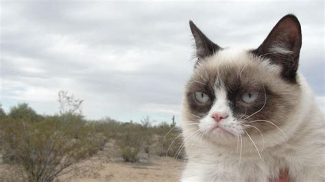 high resolution wallpaper of cat grumpy cat free wallpapers this wallpaper