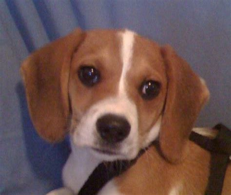 beagle puppies for sale houston beagle puppies for sale beagle puppy in houston tx 3493057321 breeds picture