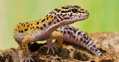 do leopard geckos need a heat l leopard gecko the life of animals