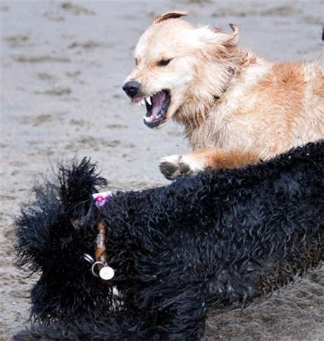 aggression towards other dogs stop aggression towards other dogs san francisco bay area expert