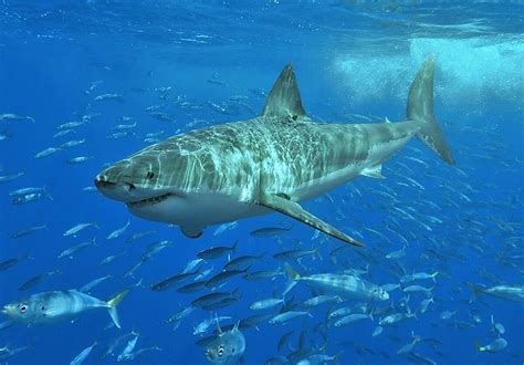 general information great white shark
