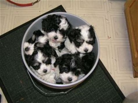 where can i buy a havanese puppy best 25 havanese puppies ideas on cockapoo puppies dogs and
