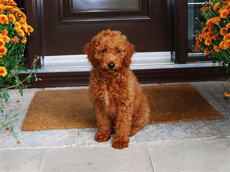 golden labradoodle puppy miniature goldendoodle golden retriever poodle mix info pictures
