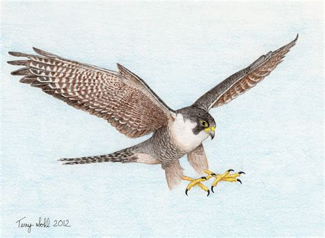 images of a falcon drawing peregrine falcon in flight flickr photo
