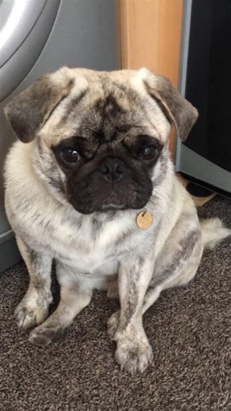 silver brindle pug white silver brindle kc pug for stud only bury greater manchester pets4homes