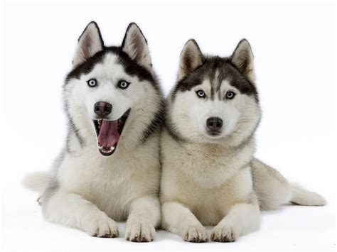 puppy huskies siberian huskies dogs wallpaper 17473305 fanpop