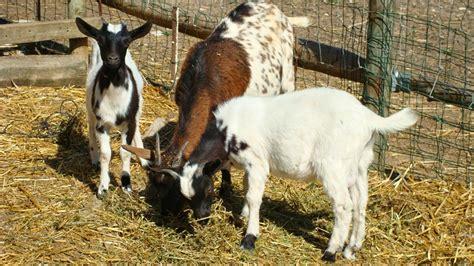 imagenes animales dela granja animales domesticos