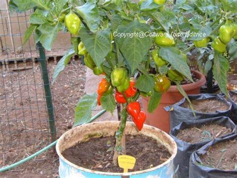 coltivazione peperoncino in vaso coltivare i peperoncini piccanti 232 sempre pi 249 di moda