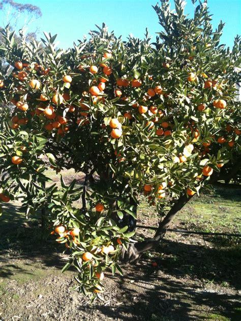 fruit trees for sale perth citrus trees landsdale plants