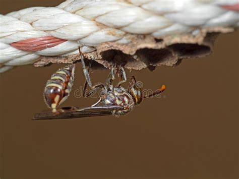 paper wasp building nest stock photo image  building