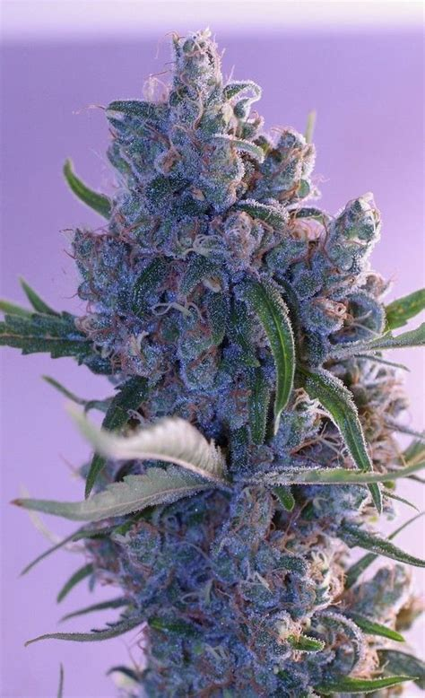 x seeds for sale marijuana seeds for sale cannabis tips for