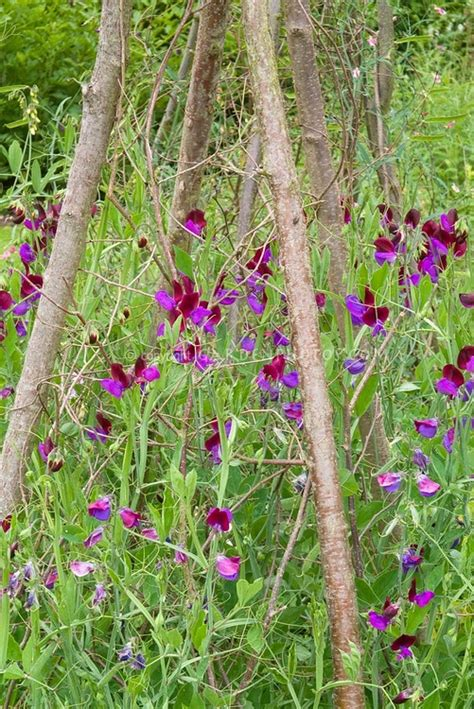 107 best images about sweet peas on pinterest sweet peas violets and royalty free stock photos
