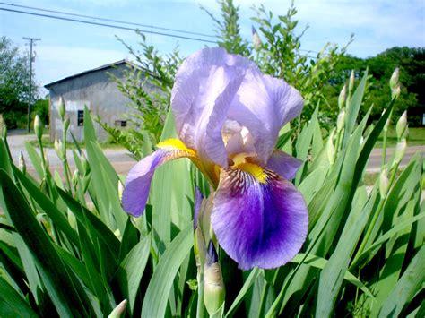 iris des jardins iris barbus plantation culture entretien