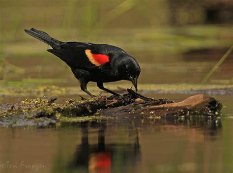 red winged blackbird birdwatching