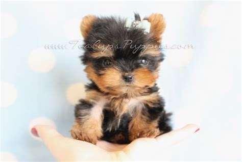 micro yorkie puppies for sale evil sick puppy seller see teacup dogs and health evil stores teacups