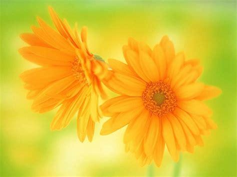 flowers  flower lovers daisy flowers hd desktop