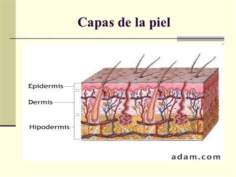 la piel de la histolog 237 a y fisiolog 237 a de la piel