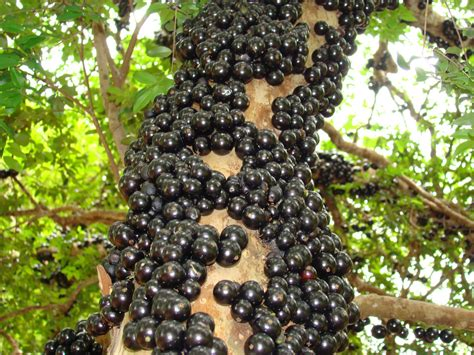 what is the fruit of the tree of jabuticaba the tree that fruits on its trunk kuriositas