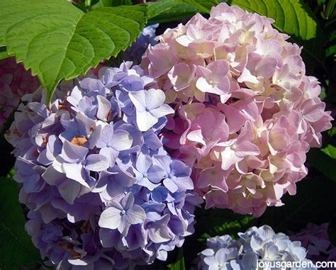 hydrangea change color ask nell changing the color of hydrangeas