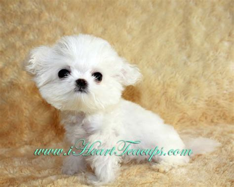 micro teacup pomeranian price micro teacup maltipoo pocket micro teacup puppy for sale in los angeles a