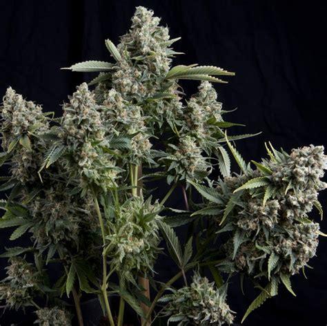 autoflowering beleuchtung tutankhamon pyramid seeds 1000seeds
