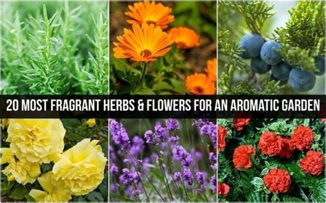 20 Most Fragrant Herbs Flowers For An Aromatic Garden Fragrant Flowers For Garden