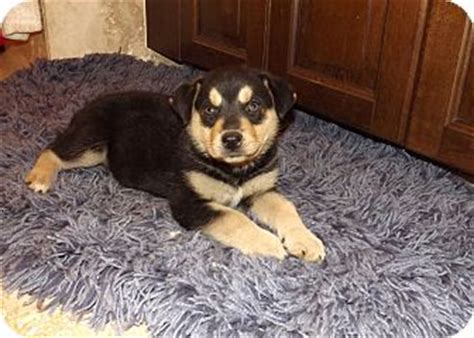 rottweiler puppies arizona rascal adopted puppy az rottweiler husky mix